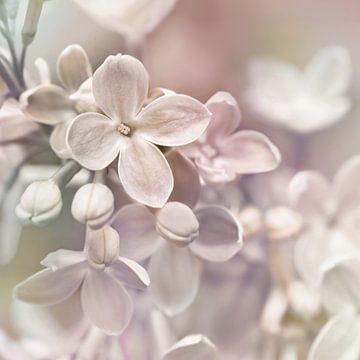lilas sur Violetta Honkisz