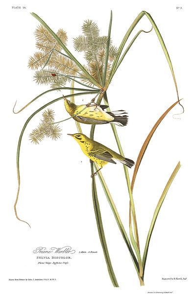 Prairiezanger van Birds of America