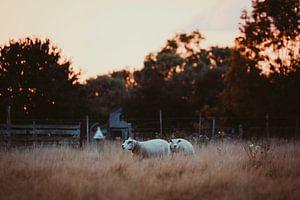 Avondschaapjes in het gras. van