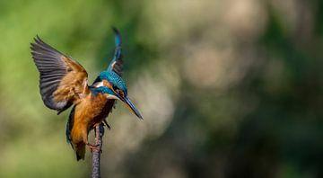 IJsvogel van Maarten van der Voorde