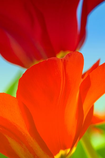 Tulipes rouges sur Anouschka Hendriks