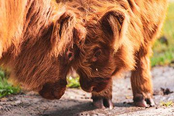 Schottische Hochlandrinderkälber im Naturschutzgebiet Veluwe von Sjoerd van der Wal