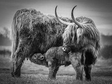 Schotse hooglanders - moeder met kalf in zwart wit van Dirk van Egmond