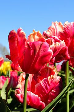 Alle roten Tulpen von Gerard de Zwaan