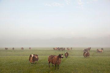 bruine schapen in mistig weiland van anton havelaar
