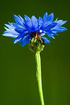 An ant on a cornflower/een mier op een koren bloem von Nicolle Rietman