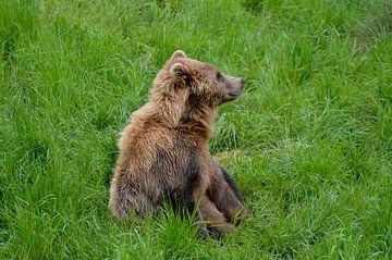 Zotteliger Braunbär sitzt im hohen Gras von Luca Schmidt