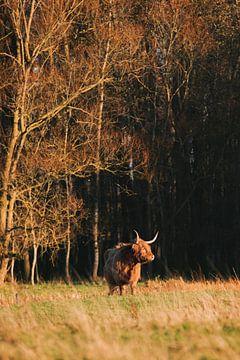 Schotse Hooglander voor het bos