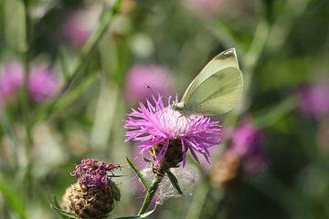 koolwitte vlinder van Anja Bagunk