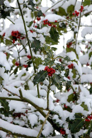 De rode bessen van de hulst omlijst door de sneeuw