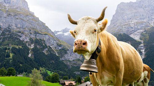 Koe in Grindelwald, Zwitserland.