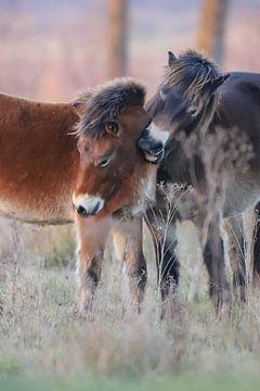 2 Exmoor-Ponys von Karin van Rooijen Fotografie