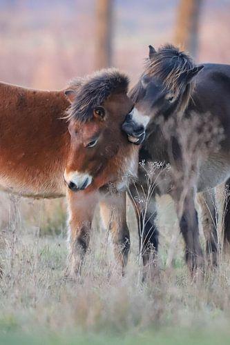 2 Exmoor pony's