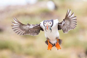 Rückkehr des Papageientauchers von Jan-Willem Mantel