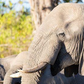 Elefanten des Okavango-Deltas von GoWildGoNaturepictures