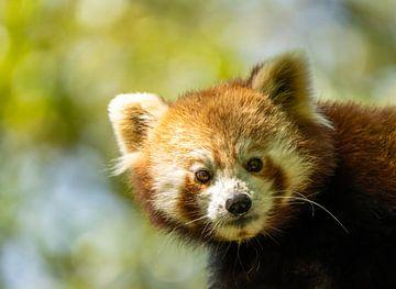 Kleiner roter Panda von Saskia Kochheim