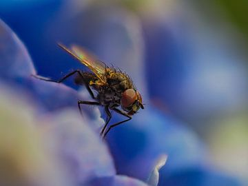 Fliege auf Hortensie von Hans Hendriks