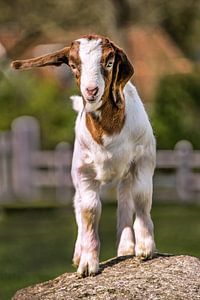 Jonge geit op een grote kei kijkt in de camera