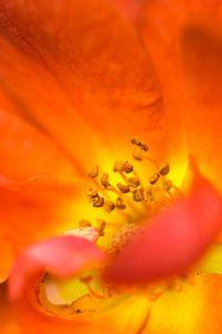 Rode bloem, stampers