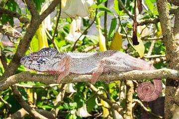 Reuzenkameleon von Dennis van de Water