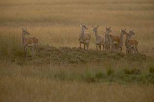 Red Deer ( Cervus elaphus ), group of hinds, on a little hill in wide open land, grass steppe, soft
