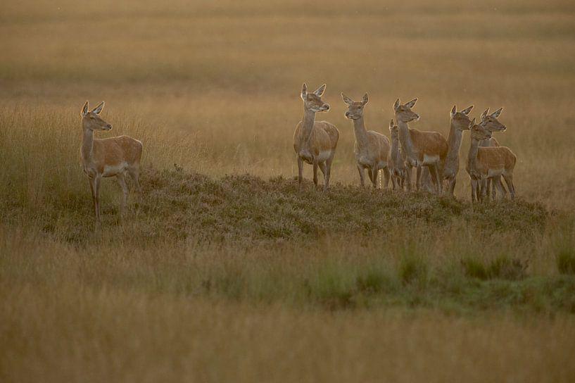 Red Deer ( Cervus elaphus ), group of hinds, on a little hill in wide open land, grass steppe, soft  van wunderbare Erde