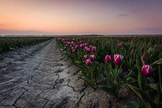 Typische Nederlandse paarse tulpenvelden van Thijs van den Broek