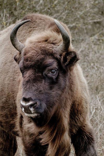 Europese bizon, wisent van Melissa Peltenburg