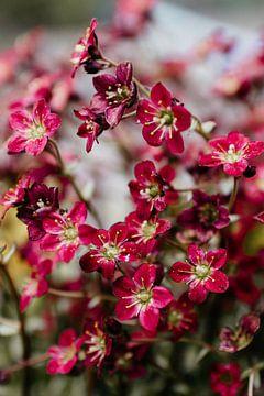 Donkerrood voorjaarsbloempje van Carla van Dulmen
