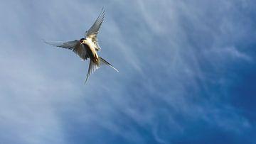 Noordse stern in de aanval van Sam Mannaerts Natuurfotografie
