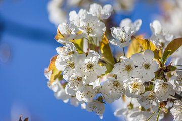 Duftige Kirschblüten van Christian Müringer