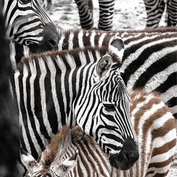 Zebra-Parade von Otte Lambooij