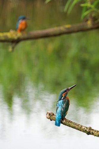 IJsvogels van