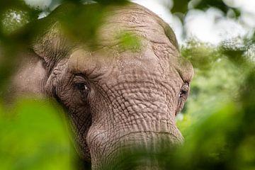 olifant van Johan Honders