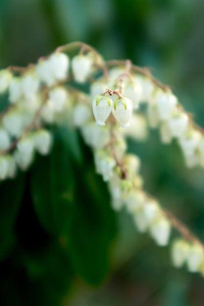macrofoto met bokeh van witte voorjaarsbloemen