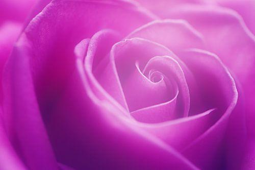 Rose Delight...
