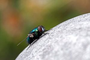 macro van een vlieg