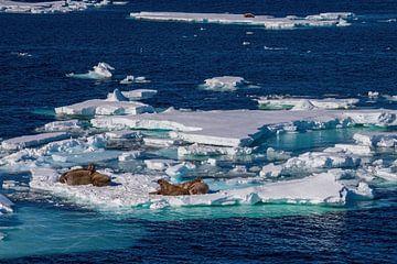 Walross auf Eisscholle Spitzbergen von Merijn Loch