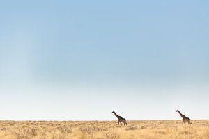 Giraffen in leeg landschap, Afrika van