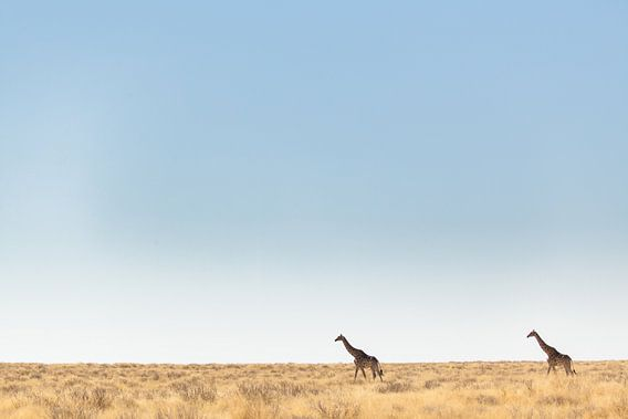 Giraffen in leeg landschap, Afrika