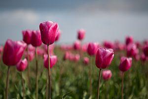 Tulips in the field Tulpen in het veld