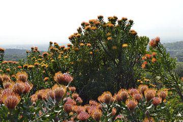 Oranje bloemen van de Leucospermum von Susan Dekker