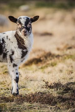 Lamm auf dem Moor von Martzen Fotografie