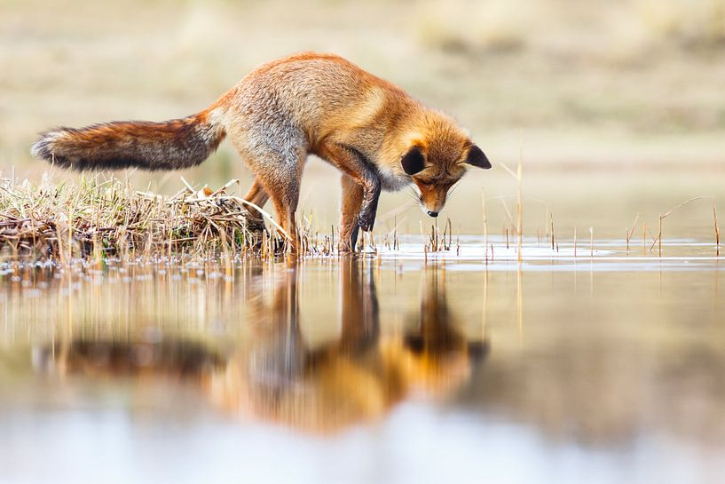 Red Fox reflection van Pim Leijen