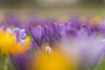 Heldere kleuren en een mooie bokeh van krokussen. van Lieke van Grinsven van Aarle