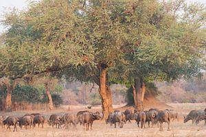 Buffels in bosrijke omgeving