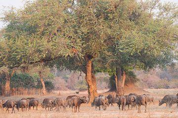 Buffels in bosrijke omgeving van Francis Dost