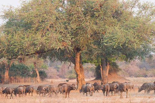Buffels in bosrijke omgeving van