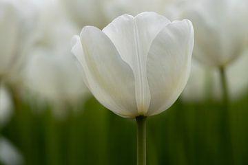 Weiße Tulpe von Natasja Boonstra
