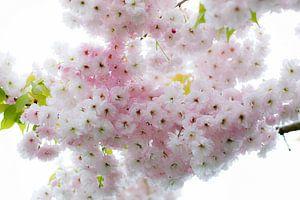 Lentebloesem van Prunus van Ineke Boeter
